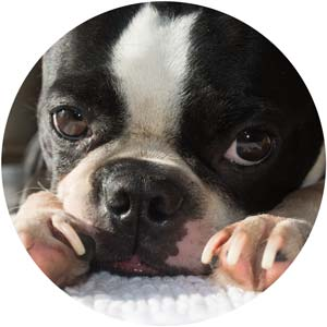 Let Go of Being Perfect - Upcycled crafts. Photography. Boston Terriers.
